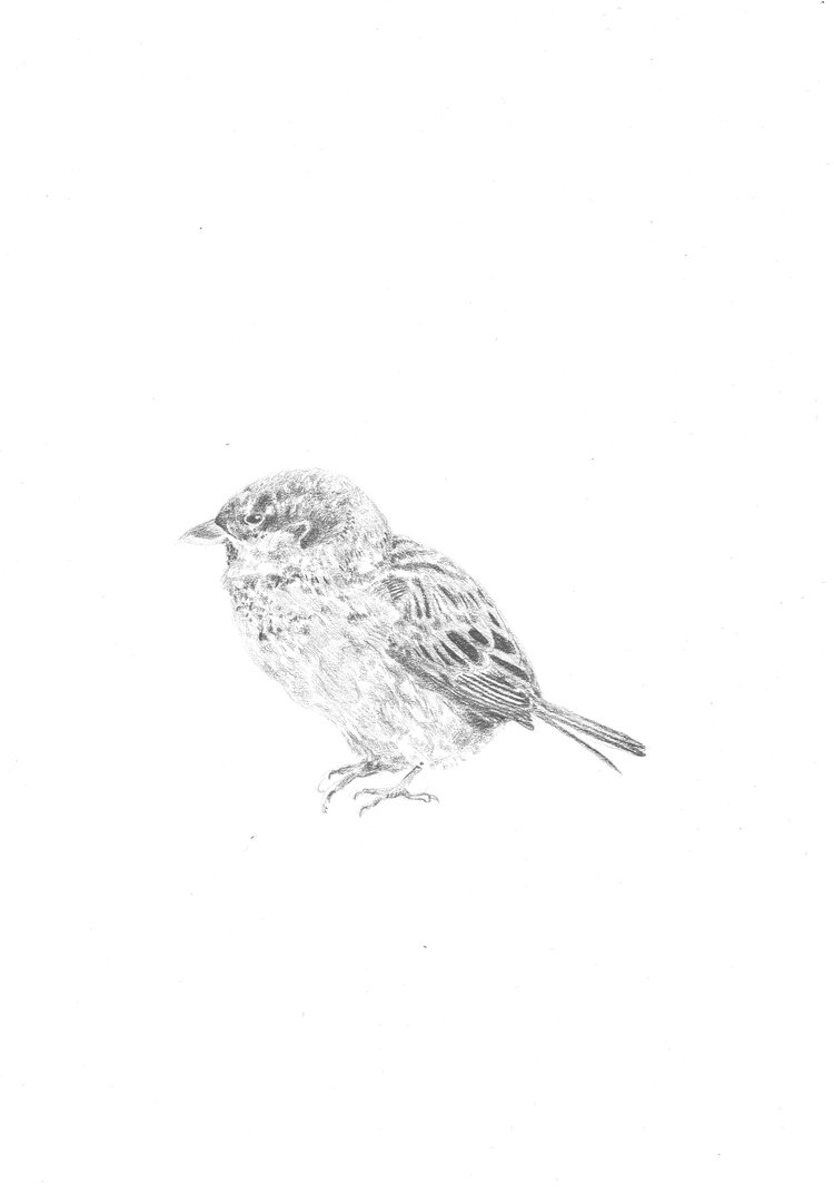 Day Eight Of One Hundred: A Sweet Sparrow Drawn In Pencil