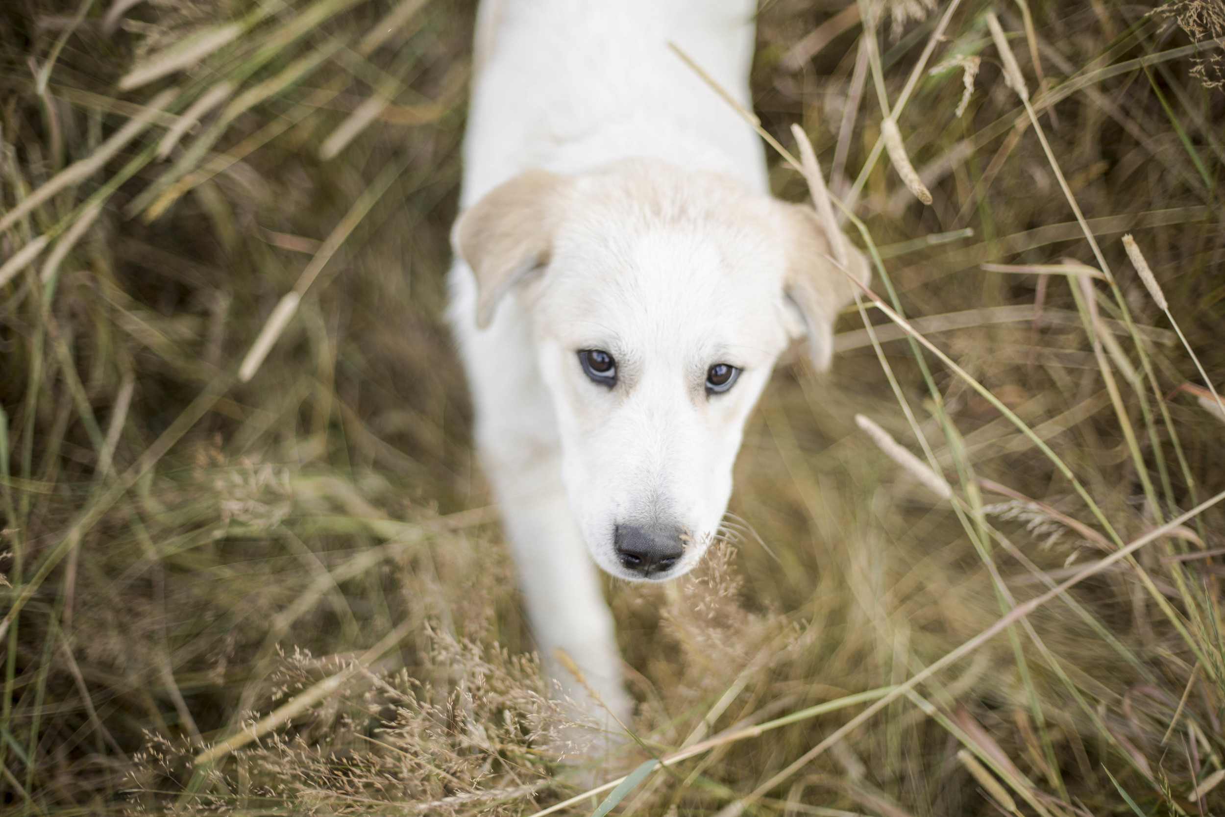 Bean is a White Pyrenees and is trained to guard the sheep of Plenty Wild Farms against predators. (British Columbia)