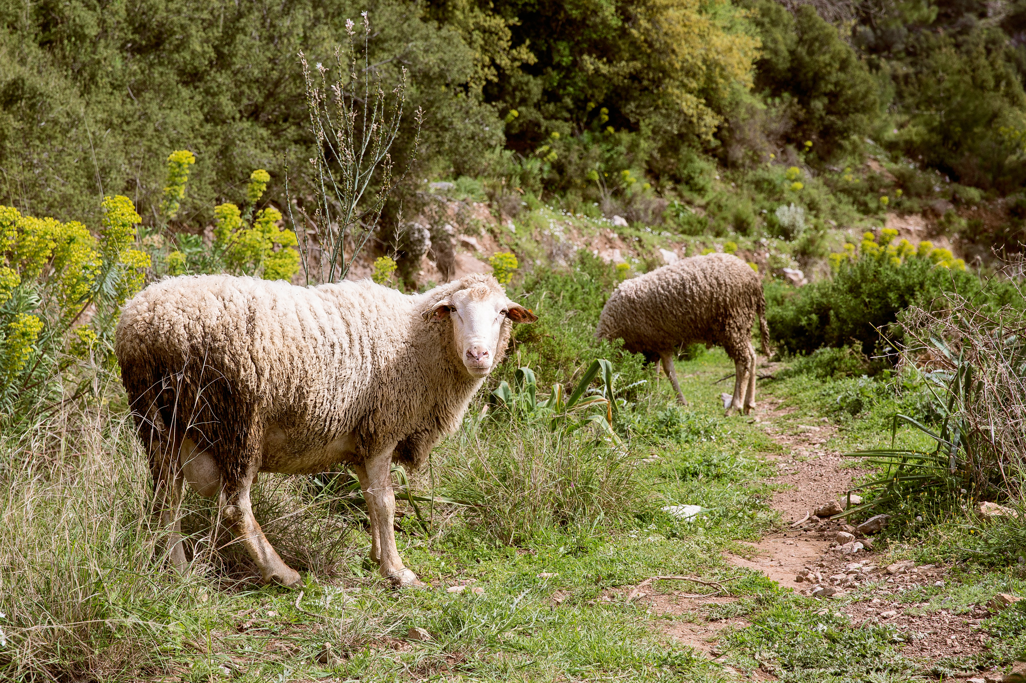 lycian-way_butterfly-valley-to-kabak-3230-sheep-watching-curiously.jpg