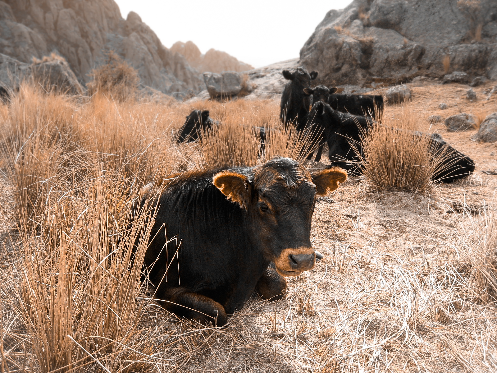 cordoba_los-gigantes_hostel-excursion-1890-cows-in-long-grass.jpg