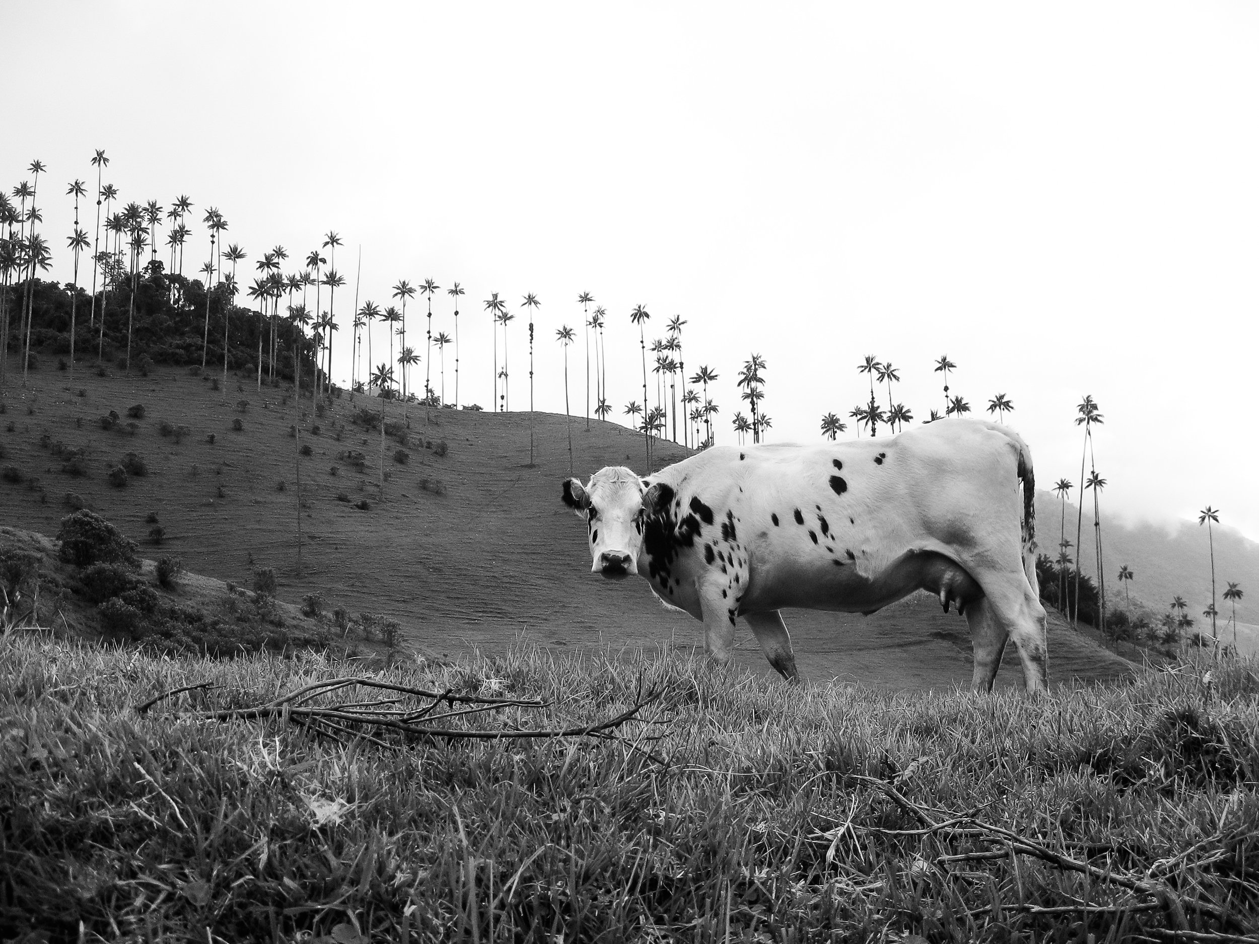 salento_valle-de-cocora_acaime-nature-reserve-0829-cow-infront-of-tall-palm-trees.jpg