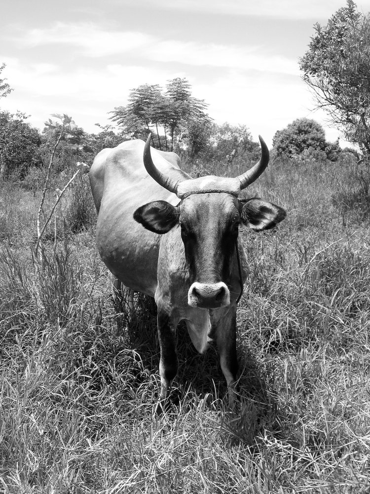 encarnacion_jesuit-missions-7748-bull-faceon-hardlight.jpg