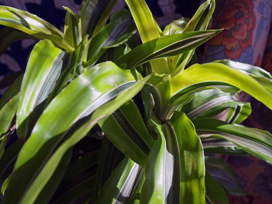 dracena foliage close horizontal web.jpg
