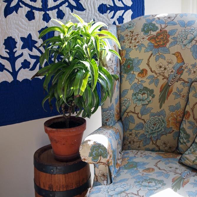 Plant Spotlight: Dracena Lemon Surprise