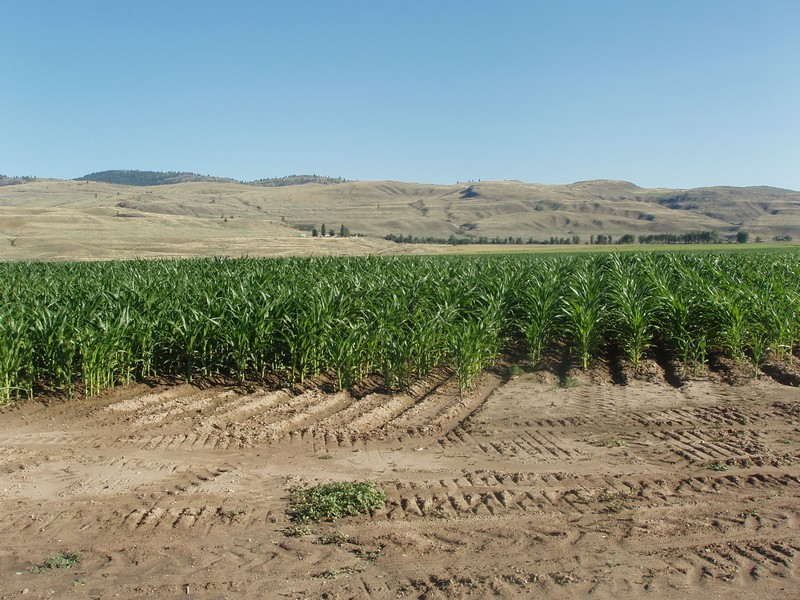 5g Corn does really well here as we use it for the cows, vineyards would be better!!.jpg