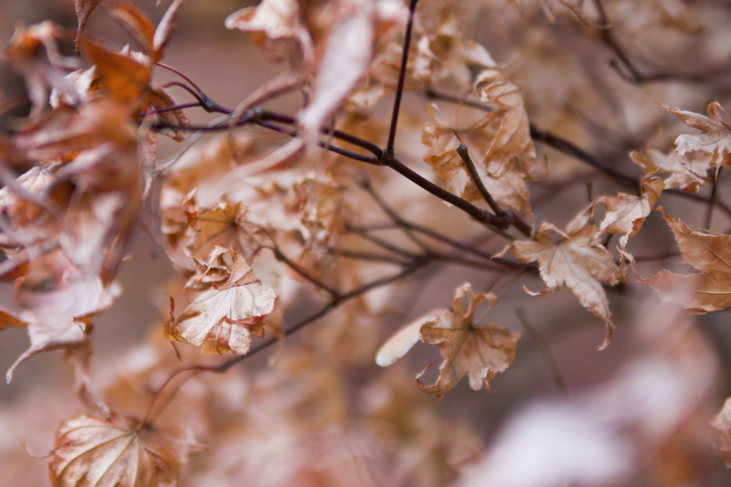 Even though these leaves are dead, I still think they have a wonderful elegance. I think it's amazing how they can make dying look sobeautiful.