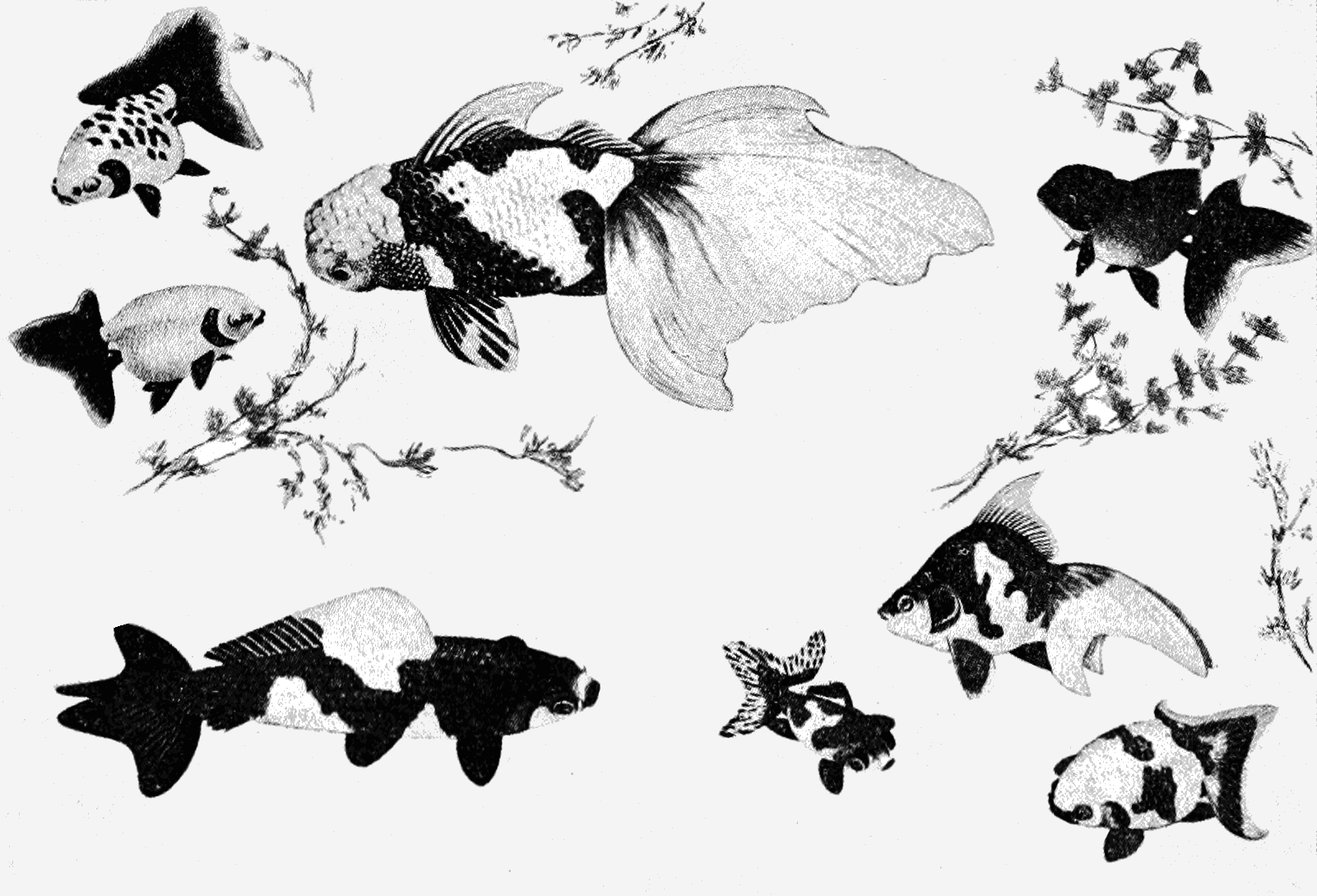 Varieties of gold-fish (from Japanese paintings) : Lower left, wakin; lower right (group of three), deme, ryukin, ranchu; upper left (two), ranchu; upper middle and right, oranda shishigashira.  1905. The Popular Science Monthly , Volume 67. pp 382