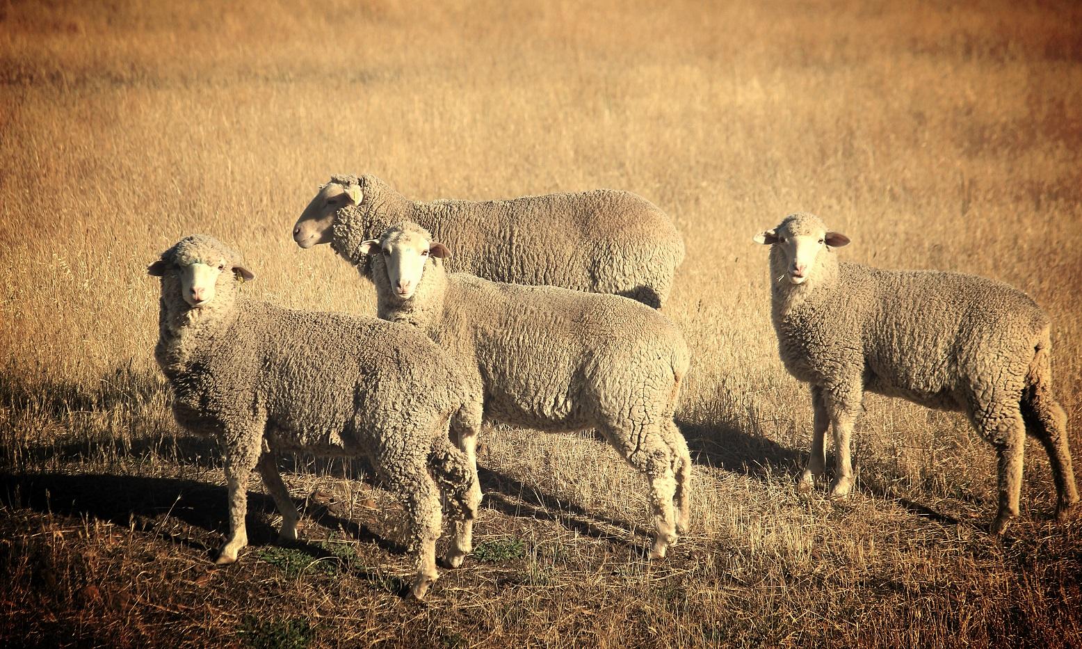 sheeps resized.jpg