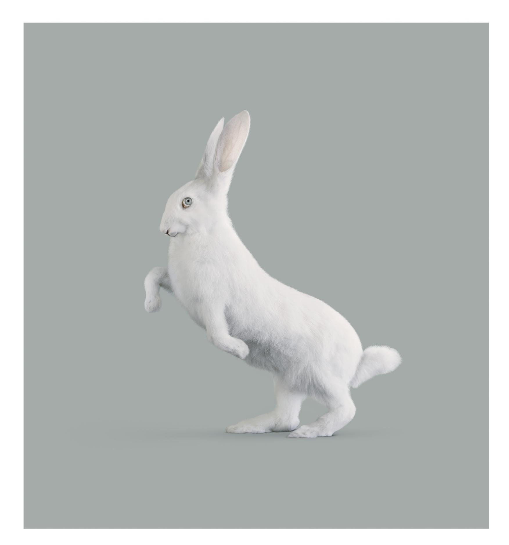 RABBIT   [Oryctolagus cognitivus]      85 x 78,3 cm. // 33.46 x 30.82 inch