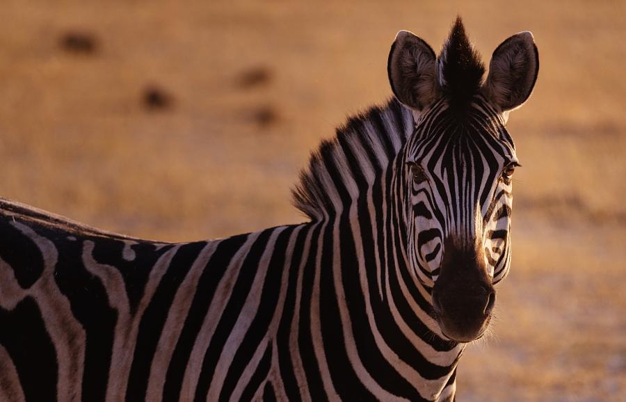 Batswana Zebra
