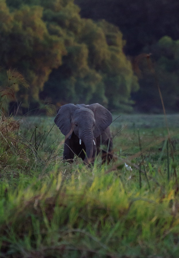Young Elephant looking for dinner
