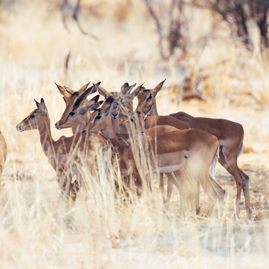 Impalas taking a break from the midday sun