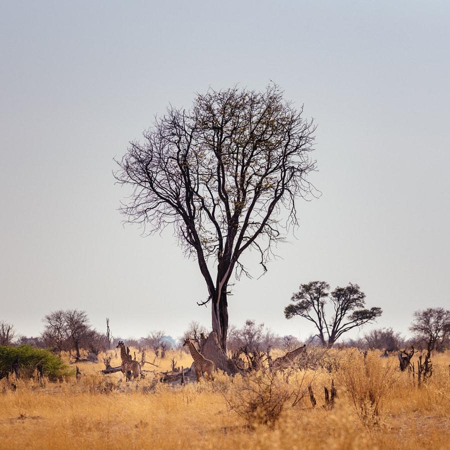 Giraffe crèche