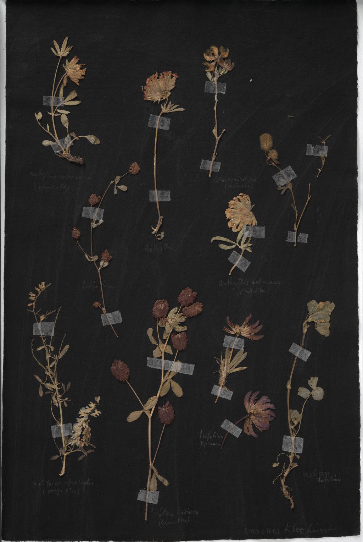 Paul Klee, Herbarium, um 1930  Bezeichnet auf dem Karton von oben links nach unten rechts: «Anthyllis vulneraria (Wund-Kl); Anthyllis; lotus corniculatus (Schotenklee); trifolium; Anthyllis vulneraria (Wund Klee); melilotus officinalis (Honig-Klee); trifolium badium (brauner Klee); trifolium alpinum; Medicago Lupulina; was alles Klee heisst»  Zentrum Paul Klee, Bern ©ZPK Bildarchiv