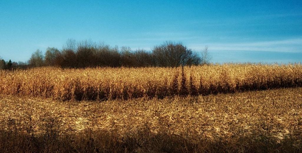 cornfield partially harvested.jpg