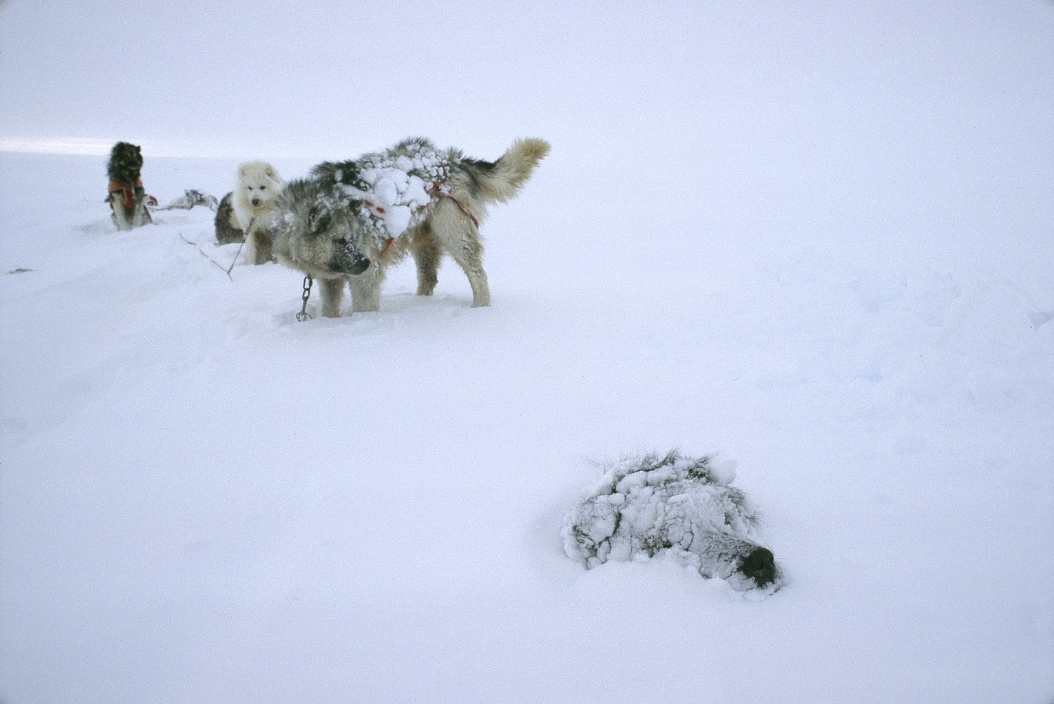 The dogs know the best way to stay warm is to let themselves be covered and insulated by the snow all night, much as Keizo did when he was lost in a blizzard. ©Trans-Antarctica Photo by Per Breiehagen