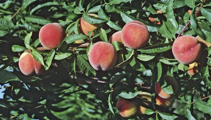 selecting-caring-fruit-trees-hero.jpg