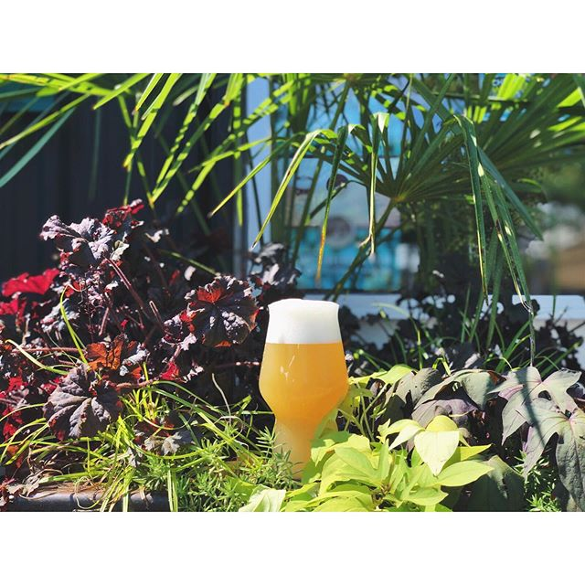 💥Phenom (update on can release below*) is our latest release from our Hop Leaf Project and begins pouring today in The Parlour! It's a 5.5% summer IPA that's bursting with aromas and flavors of citrus fruits (orange/tangerine, lemon/lime) and pineapple from the copious amount of dry hopping with Simcoe, Citra and Cascade hops. With a restrained bitterness, subtle sweetness, and a flavorful, dry finish, Phenom is a crushable and thirst-quenching IPA that's perfect for combating the Atlanta summer heat.💥 ⠀⠀⠀⠀⠀⠀⠀⠀⠀ ⠀⠀⠀⠀⠀⠀⠀⠀⠀ ⠀⠀⠀⠀⠀⠀⠀⠀⠀ *six-pack cans of Phenom are unfortunately not available this weekend due to an equipment issue and we are pushing back the can release to 7/19. But look for another special can release next weekend - more details on that next week.