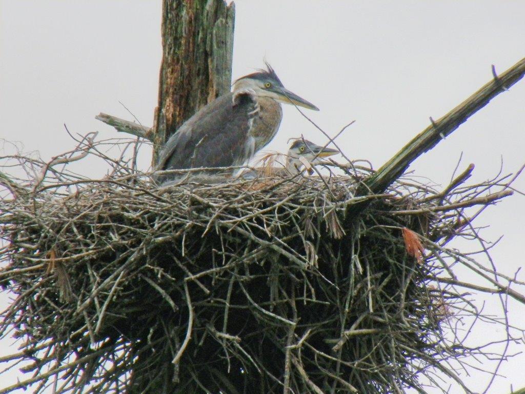 Herons at home