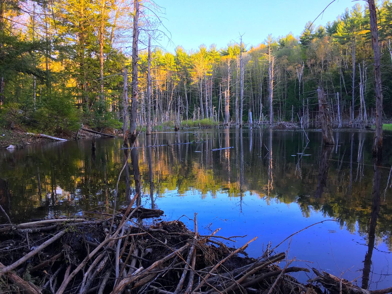 Quiet beaver pond