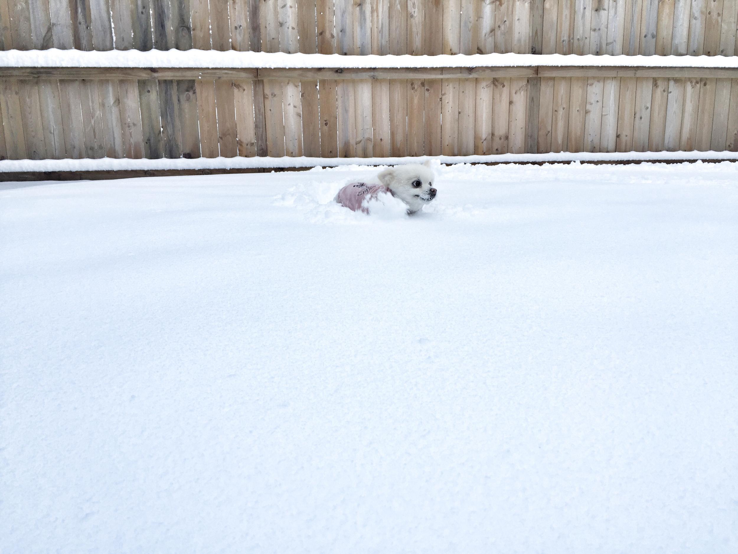 Pomeranian_Snow