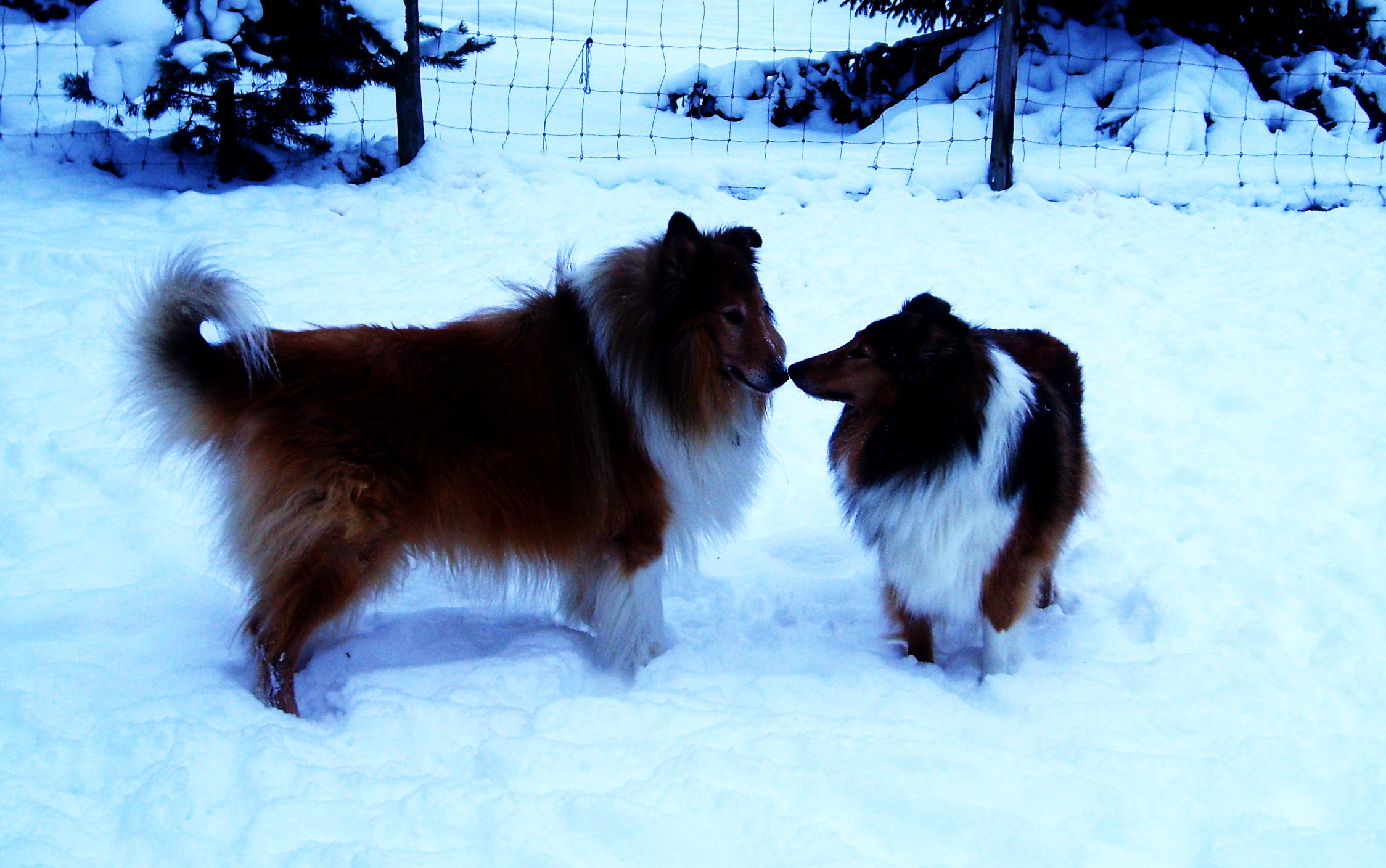 The only thing missing in this photo of the two sweethearts Lassi and Tara, is the misteltoe... ♥