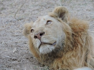 """Ginger,"" Amelia's favorite lion, has come to meet her safaris six years in a row!"
