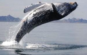 humpback2-400-300x190.jpg
