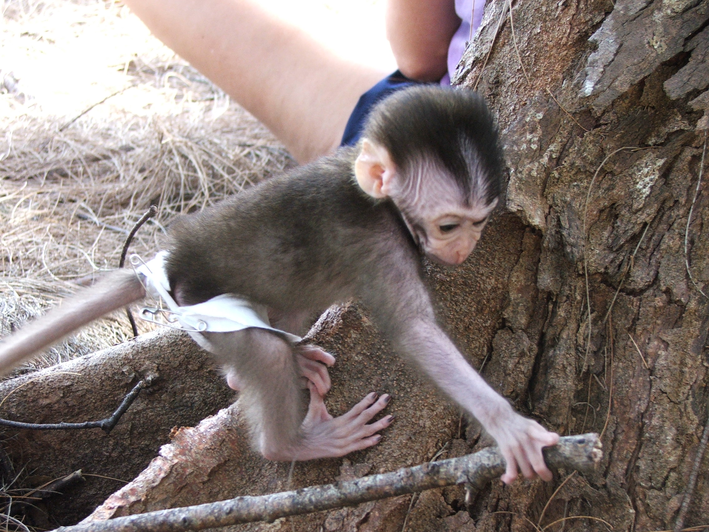 50. Sheshunoff - Monkey - In Diaper.JPG