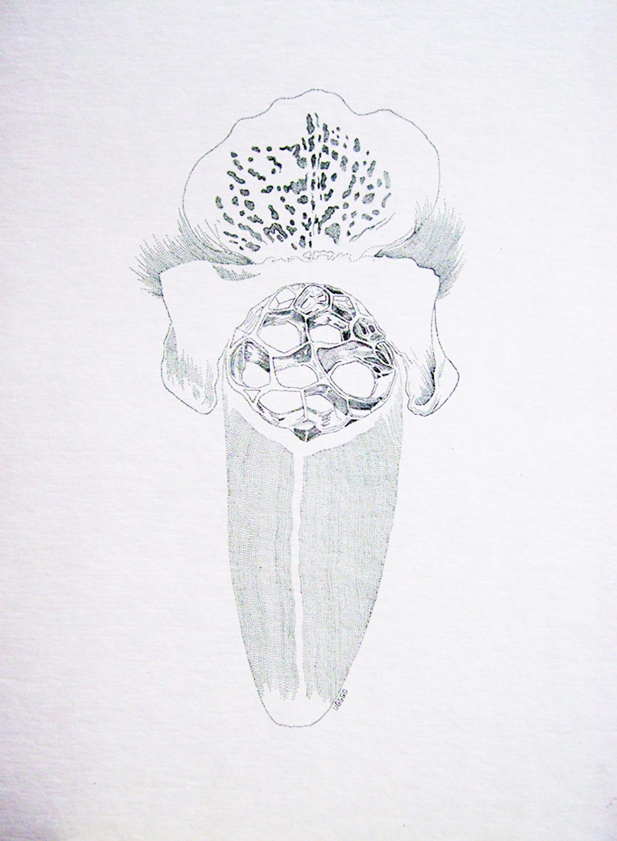 Lengua, tinta sobre papel, 65x50cm, 2012, $500 (impresión en papel couché, 17x11 pulgadas).jpg