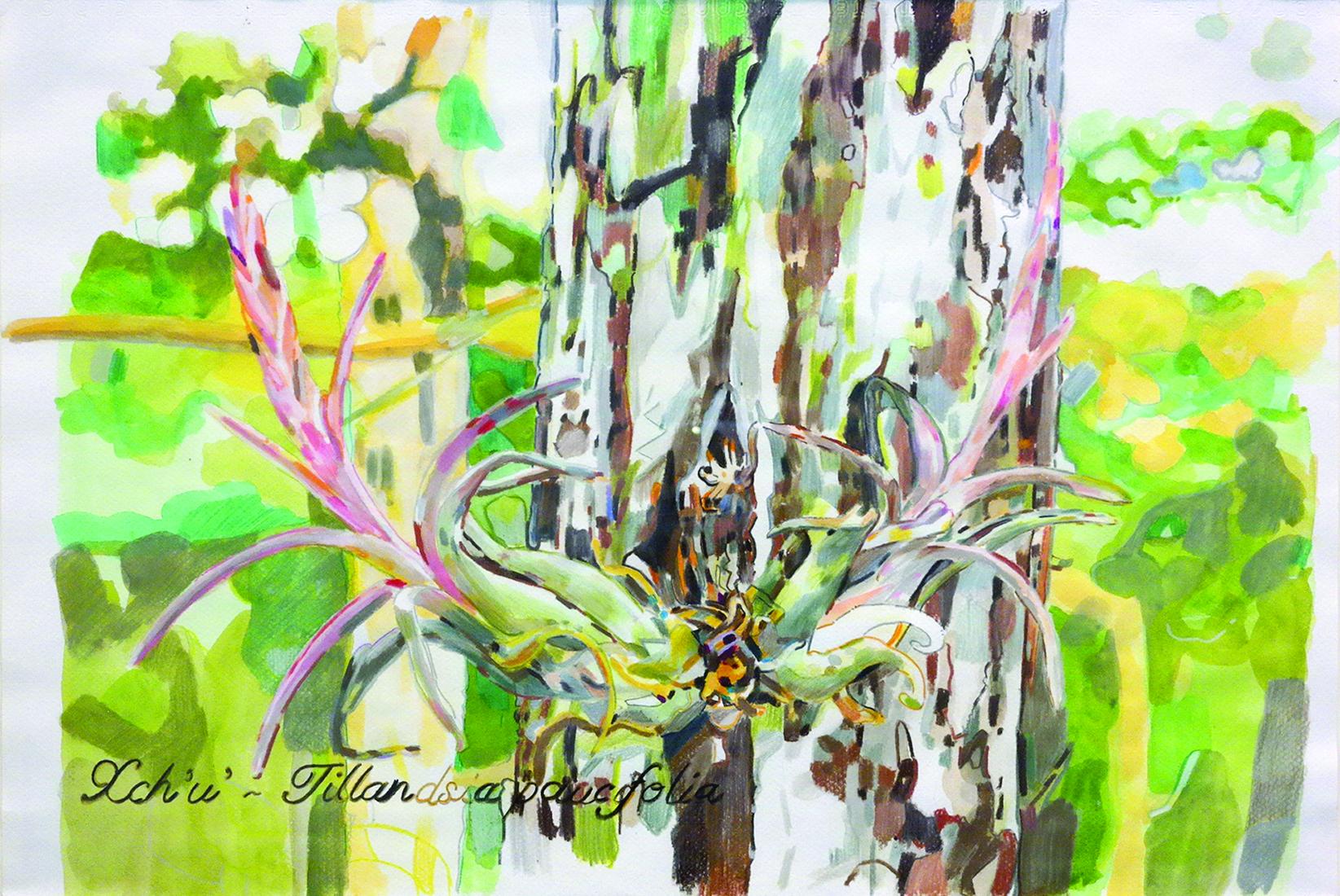 Xch'u' (Tillandsia paucifolia), 37x55cm, lápiz a color sobre papel,  2014, $27, 000.jpg