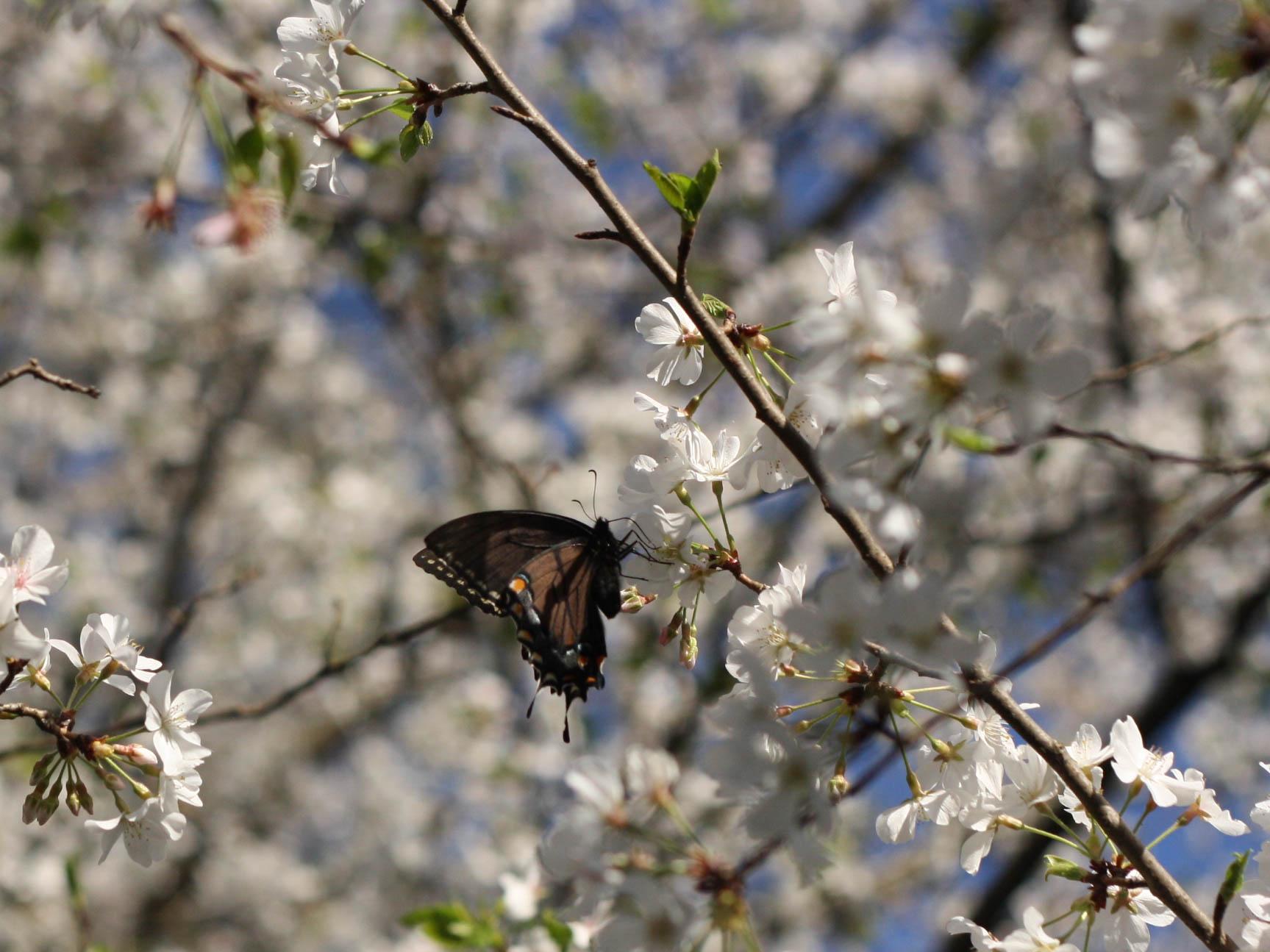 Cherryblossoms (4 of 10).jpg