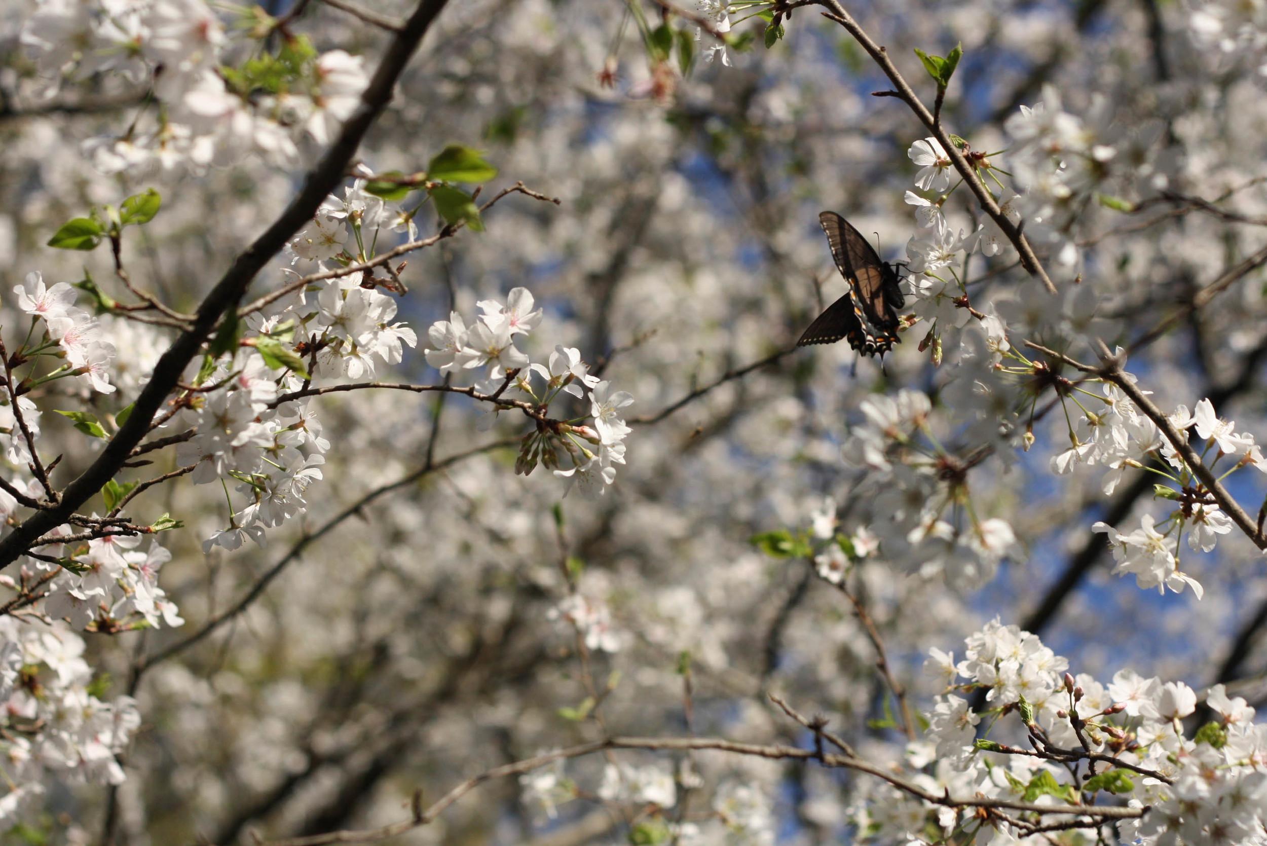 Cherryblossoms (5 of 10).jpg