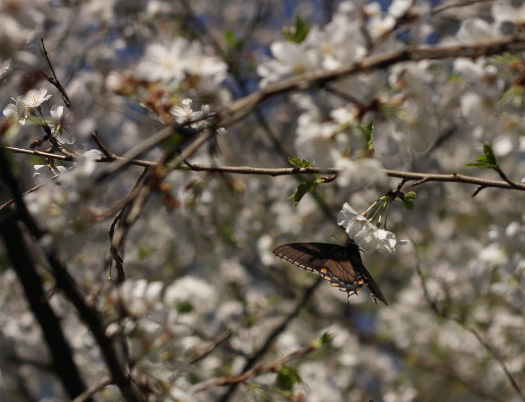 Cherryblossoms (3 of 10).jpg