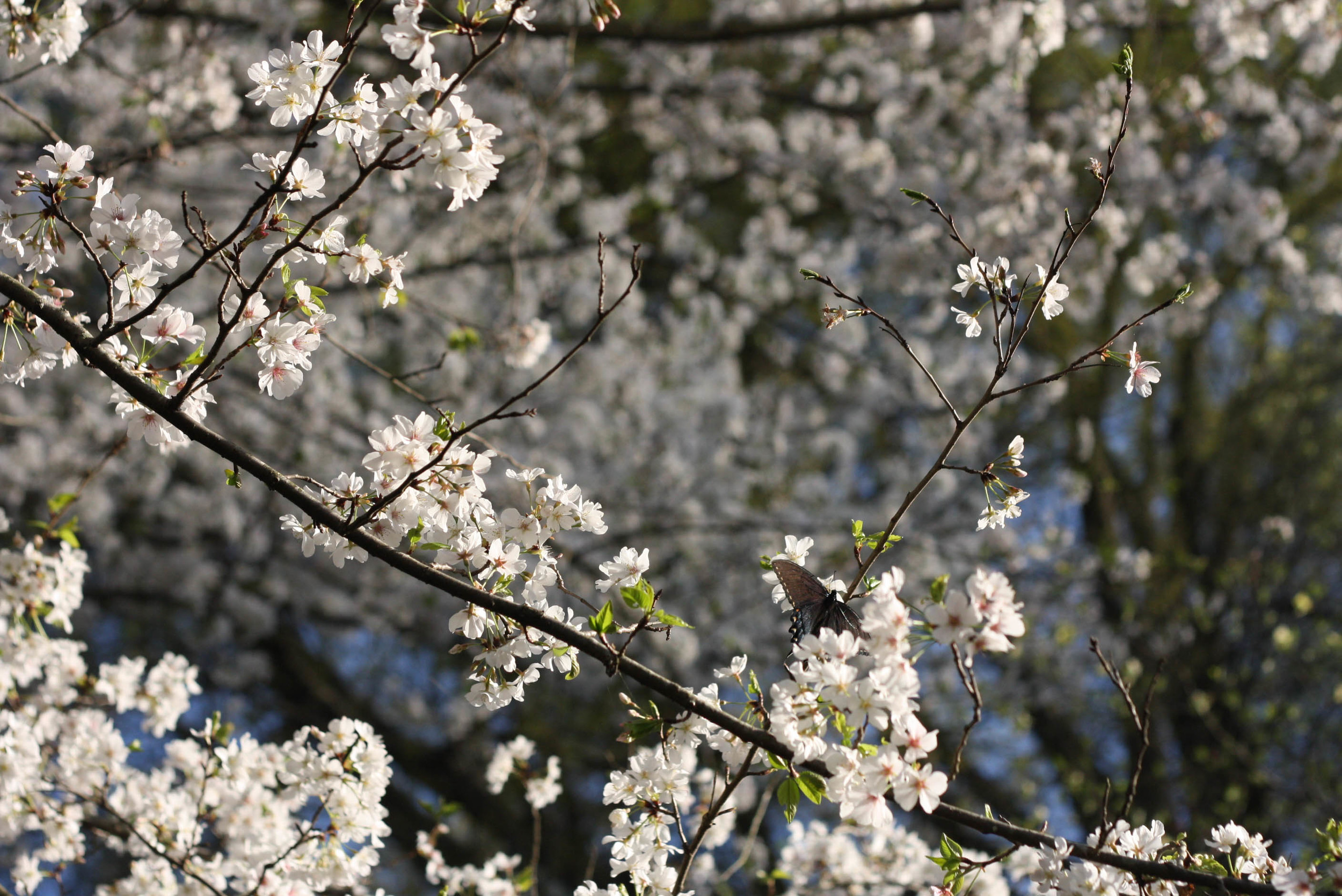 Cherryblossoms (2 of 10).jpg