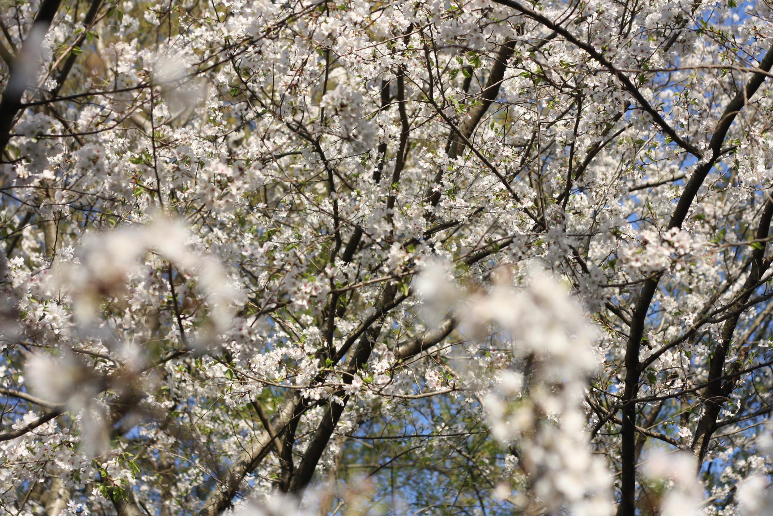 Cherryblossoms (10 of 10).jpg