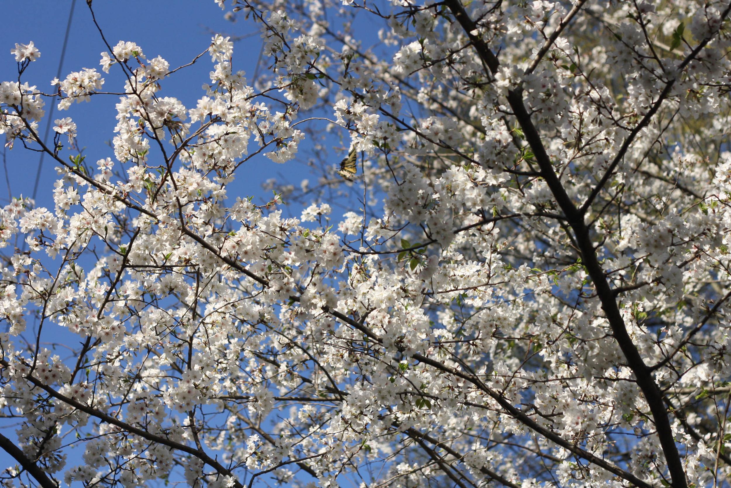 Cherryblossoms (8 of 10).jpg