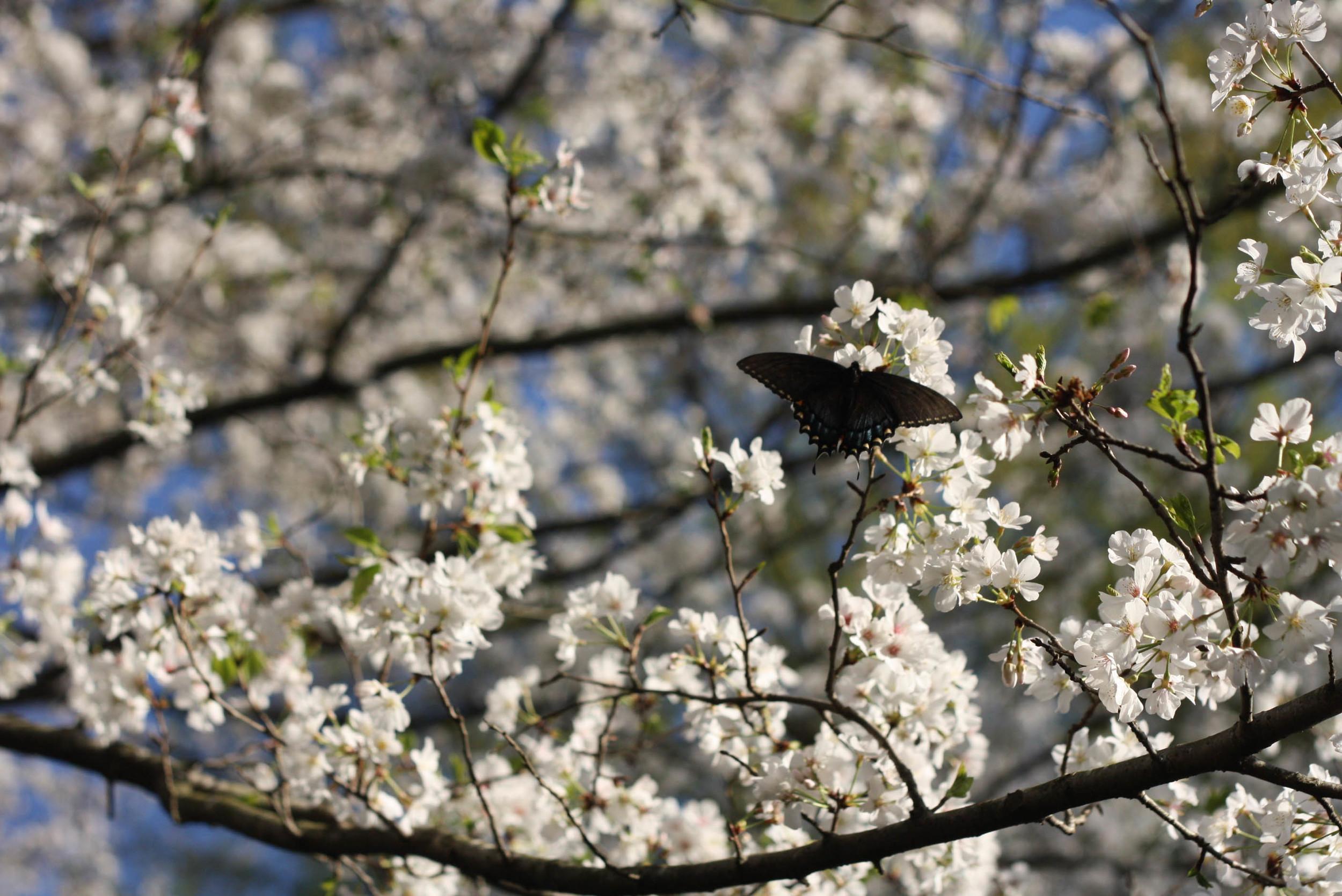 Cherryblossoms (6 of 10).jpg