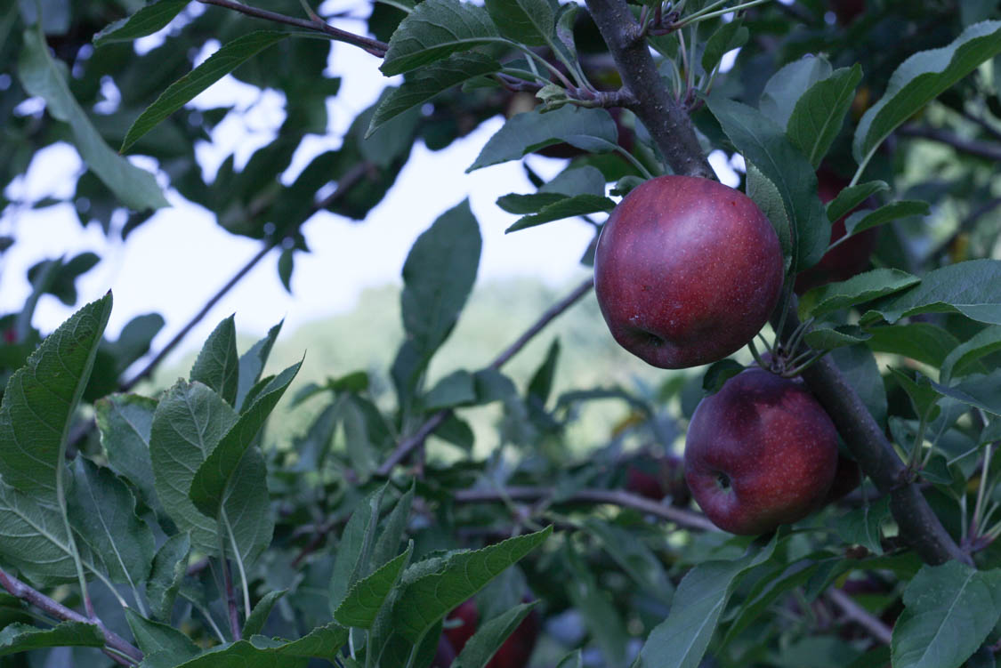 Levering Orchard (40 of 69).jpg