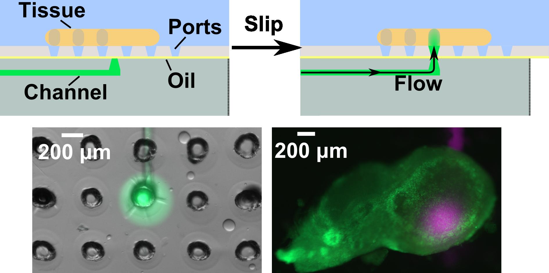 Stimulating tissue on-demand - Catterton MA, Dunn AF, & Pompano RR.