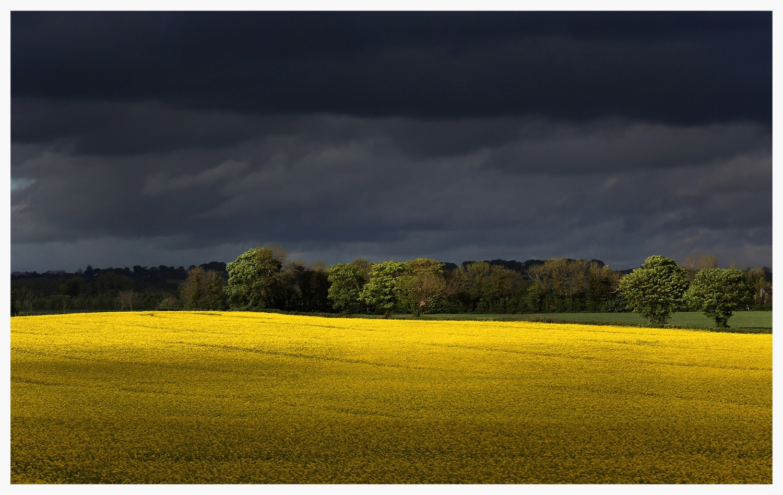 rapeseed field.jpg