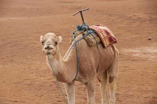 Happy Camel.jpg