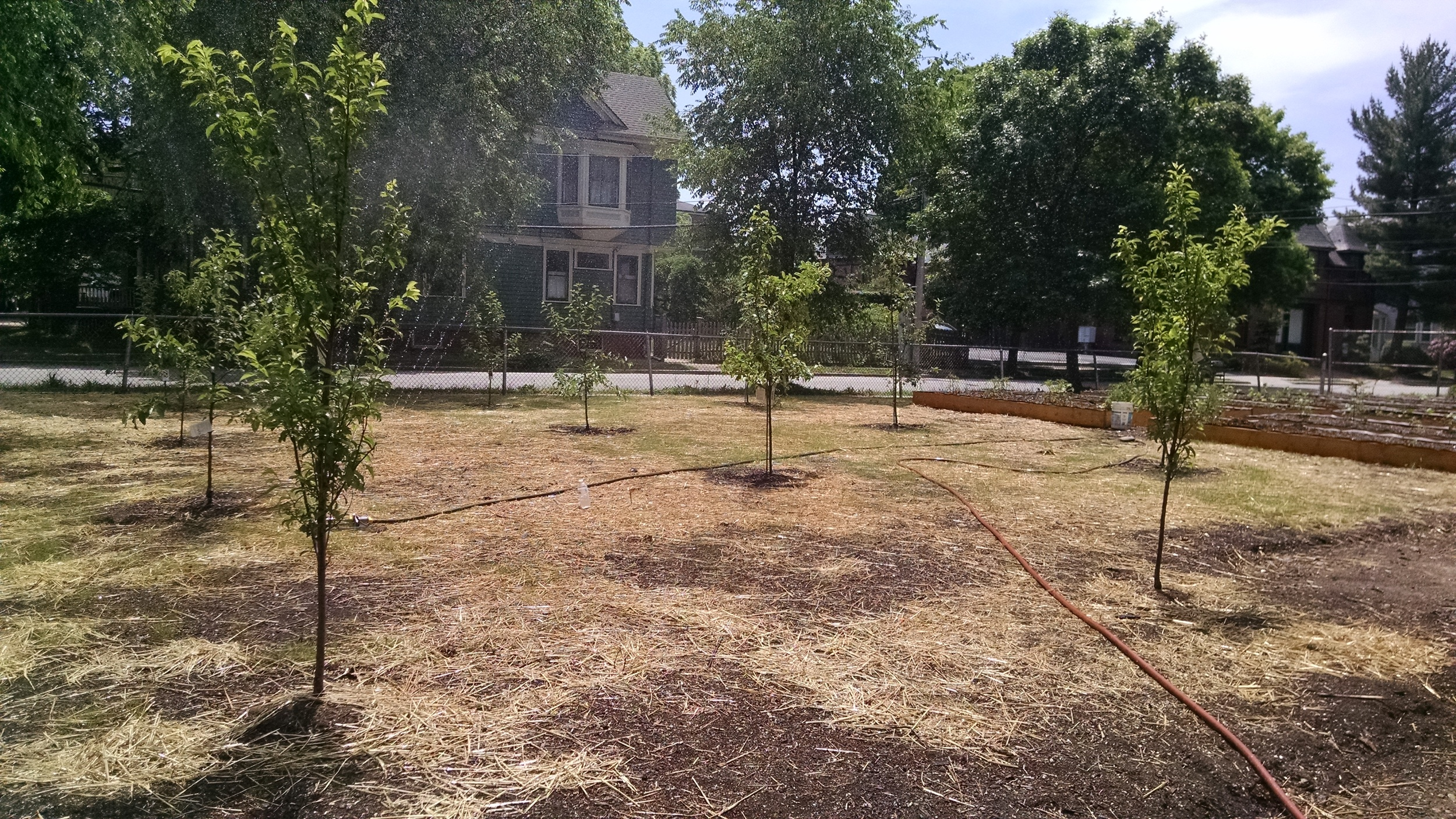 Plum and more apple trees planted on the south side of lot.
