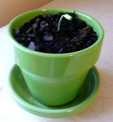My pitiful hackberry seedling.