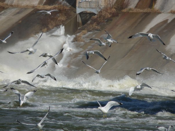 Seagulls at the Dam