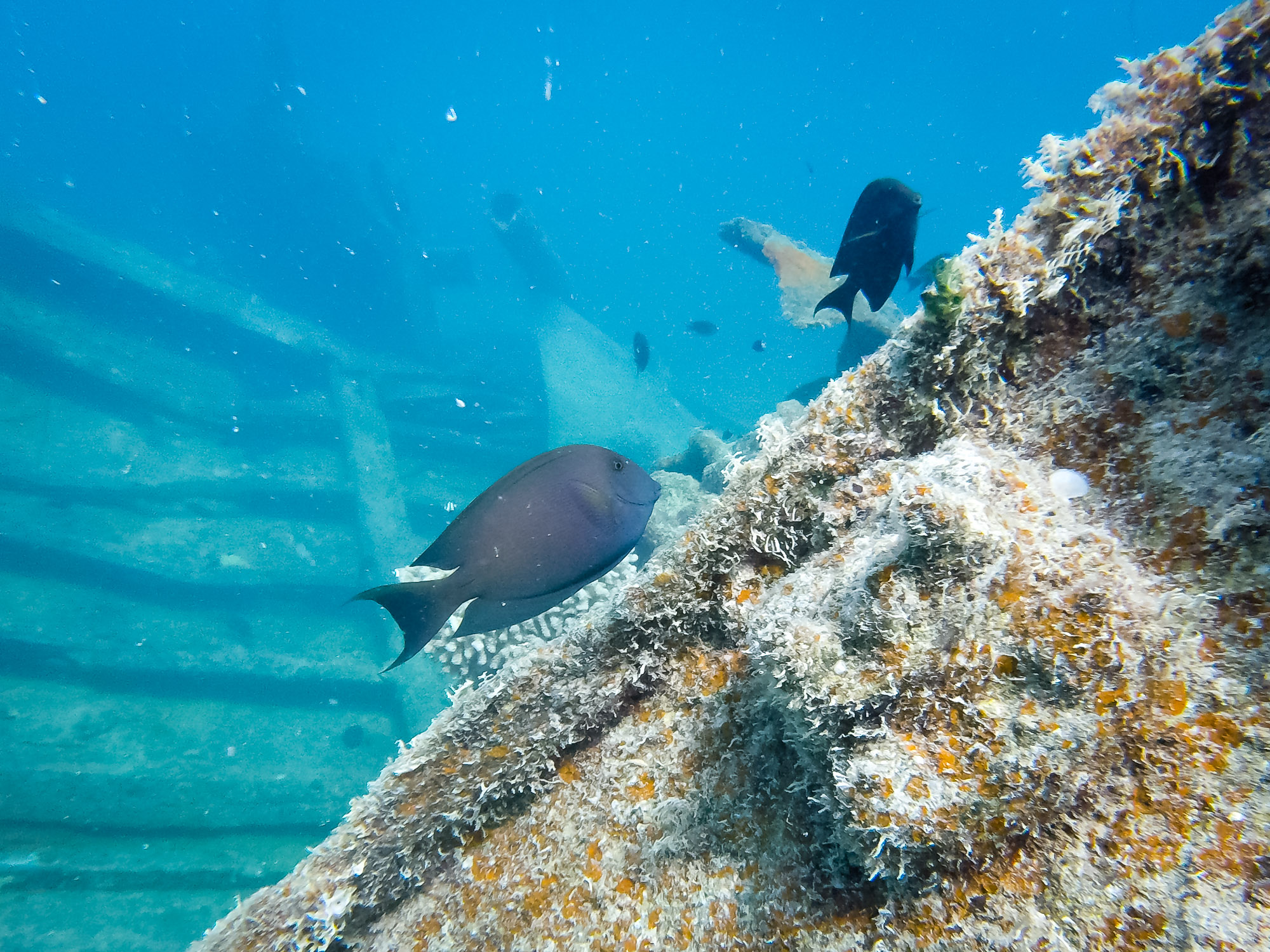 A pair of surgeonfish explore the shipwreck