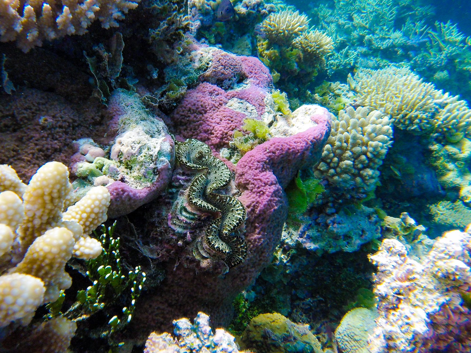 A giant clam, a common sight in the reefs of the Marshall Islands