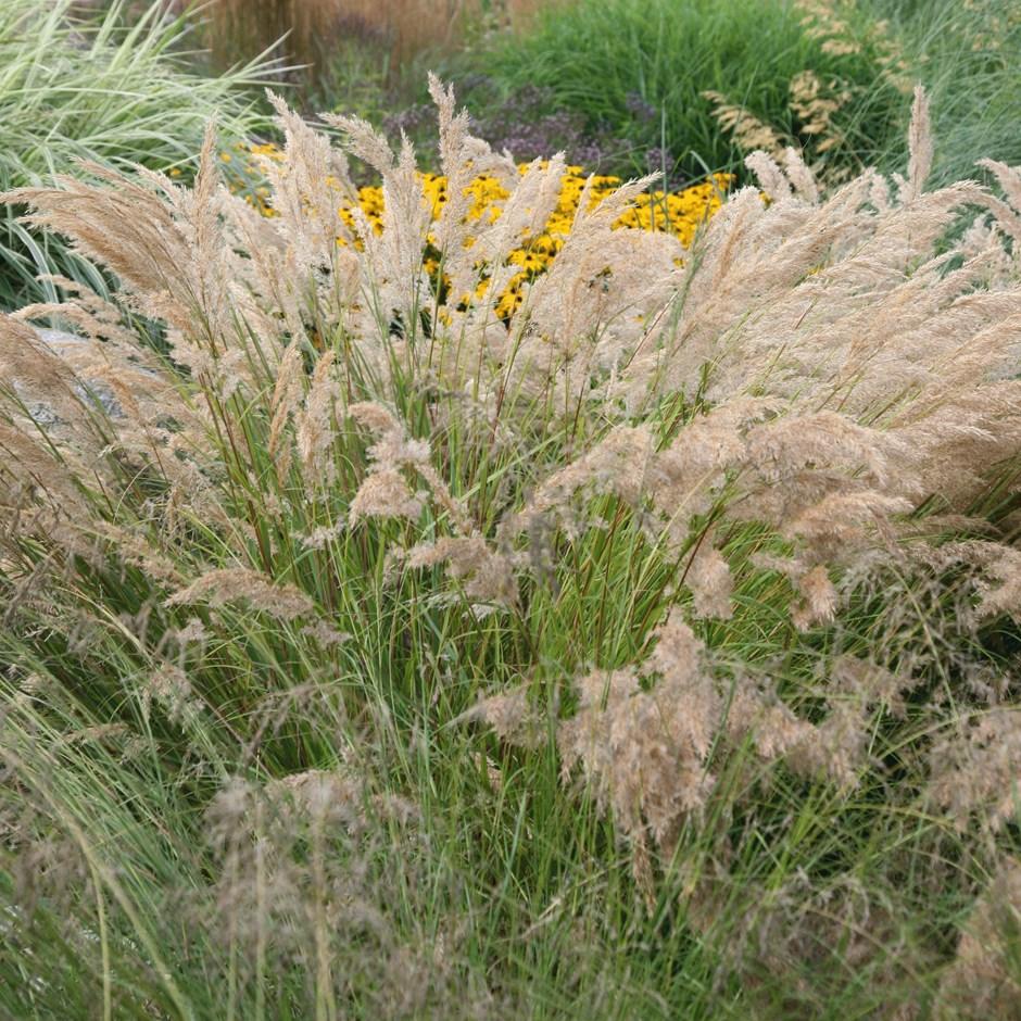 stipa calamagrostis.jpg