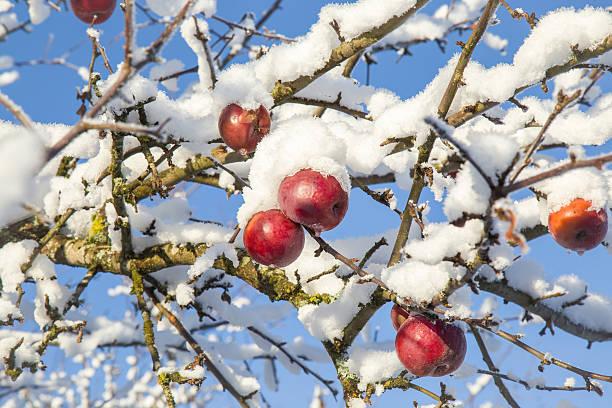 snowapple.jpg