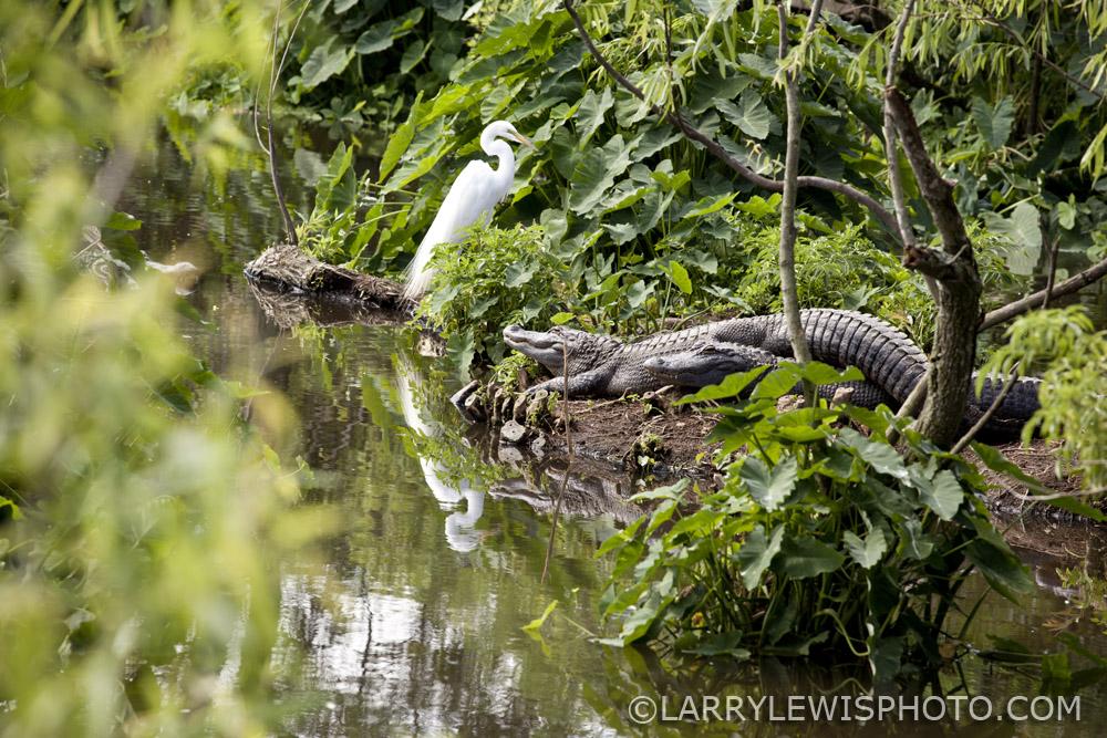 Gatorland_Alligator_6.jpg